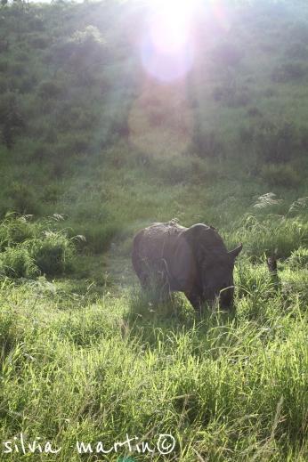 Rhino in the sun