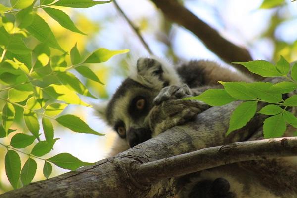 Melancholic lemur
